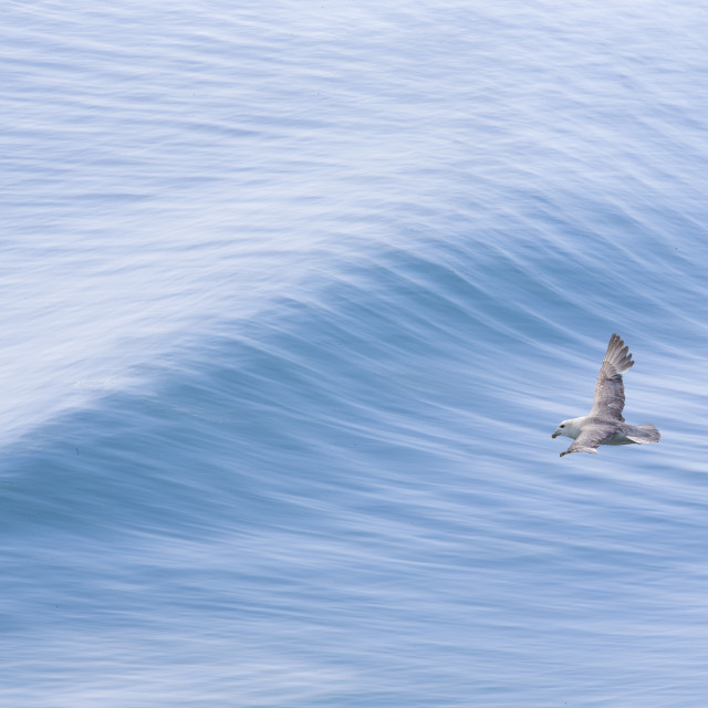 """A seabird riding the ocean waves"" stock image"