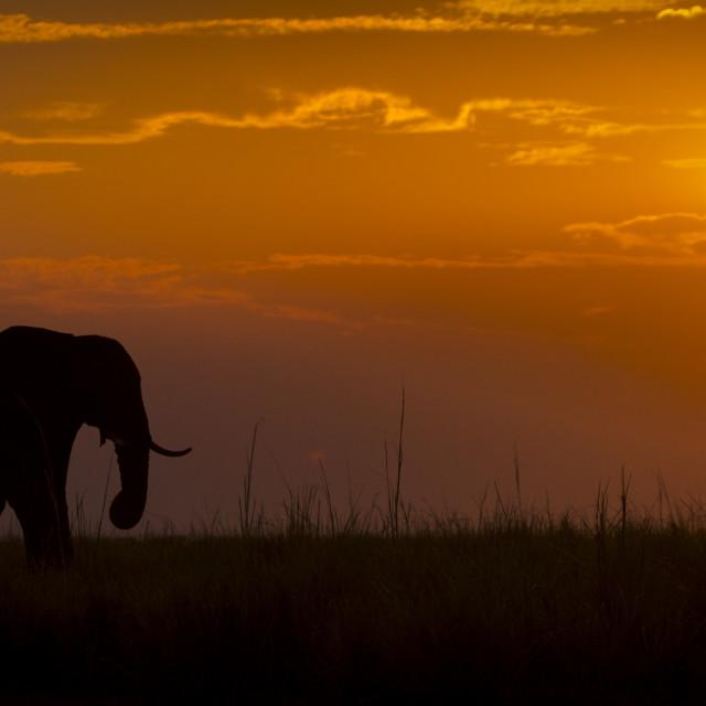 """""""Elephant at Sunset"""" stock image"""