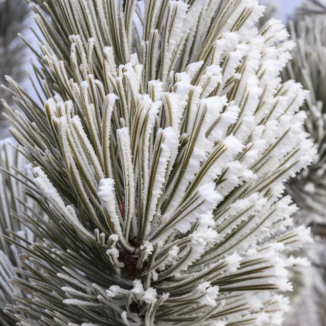 """frosty pine"" stock image"