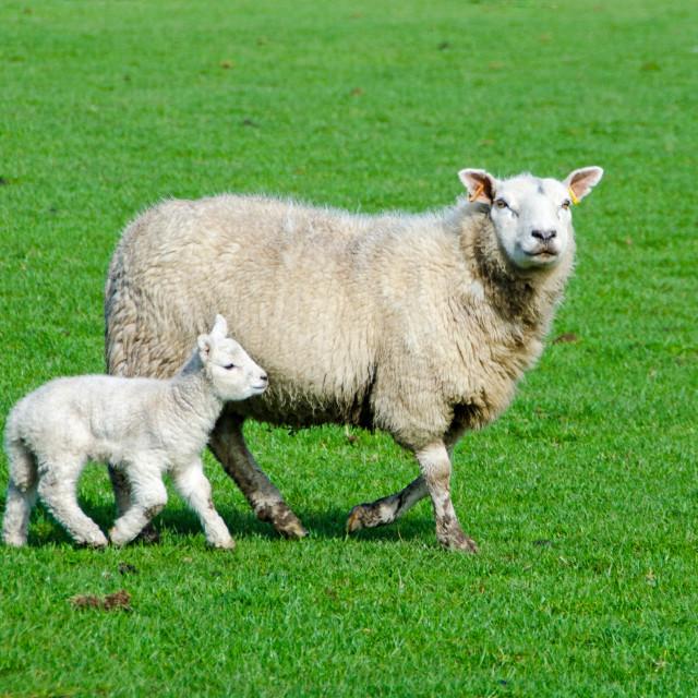 """""""Welsh Ewe with lamb."""" stock image"""