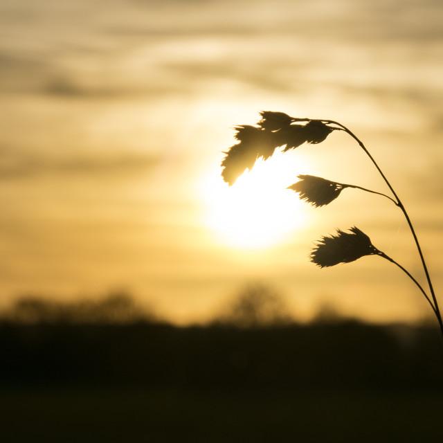 """Golden Grass"" stock image"