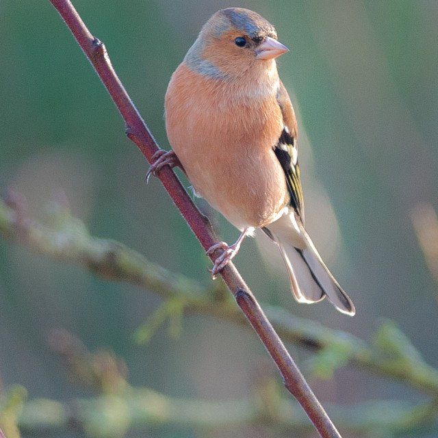 """""""Chaffinch"""" stock image"""