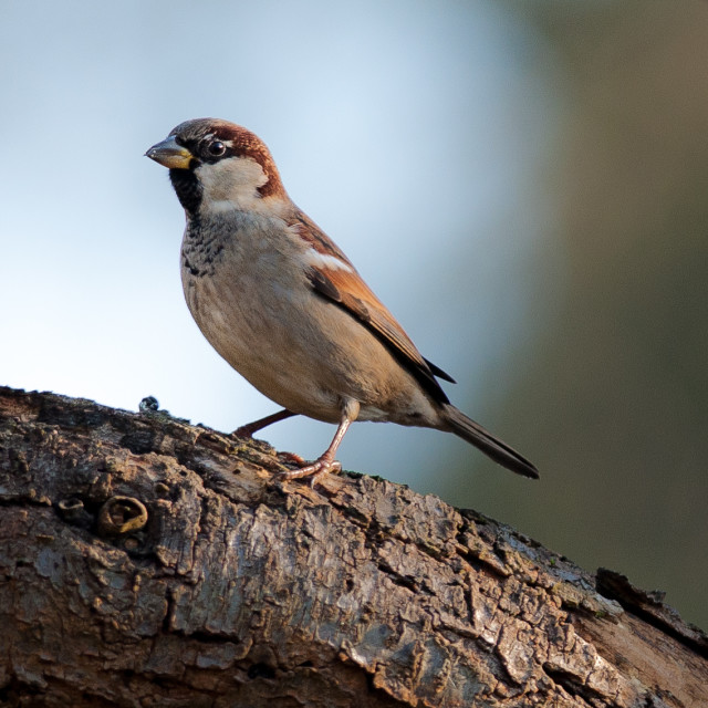 """""""Male house sparrow"""" stock image"""