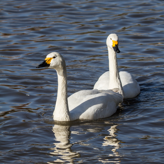 """Whooper Swans at WWT Slimbridge"" stock image"