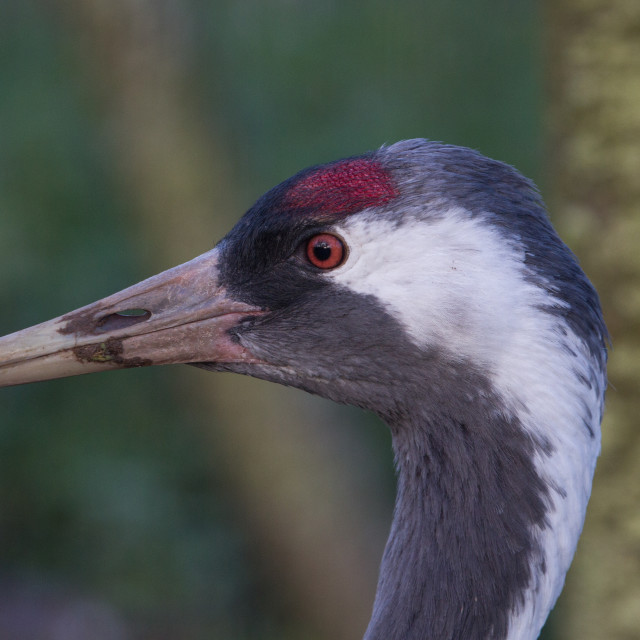 """Crane at WWT Slimbridge"" stock image"