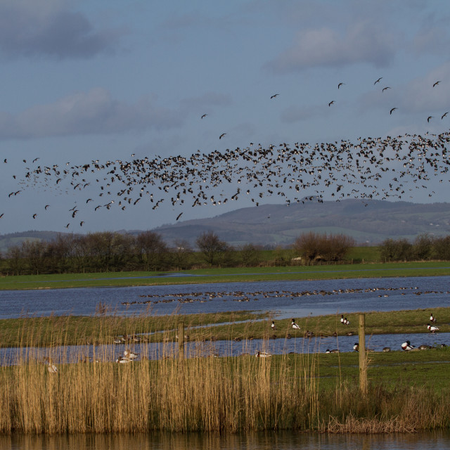 """Lapwings in flight at WWT Slimbridge"" stock image"