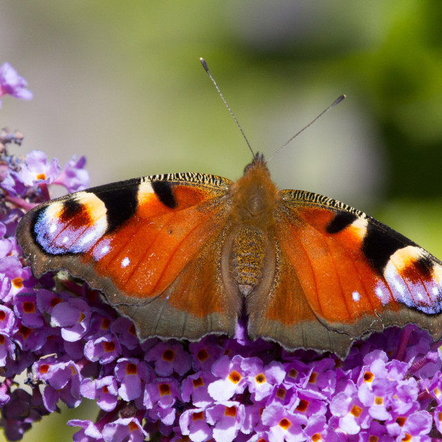 """Peacock Butterfly"" stock image"