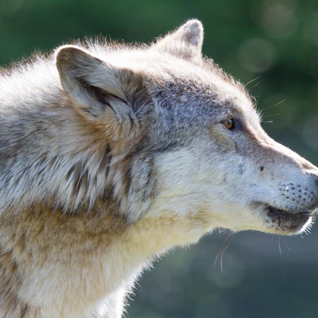 """Anglian Wolf Society"" stock image"
