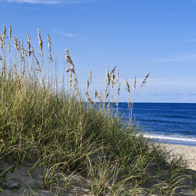 """Sea oats growing on beach dune, Nags Head, North Carolina, USA"" stock image"