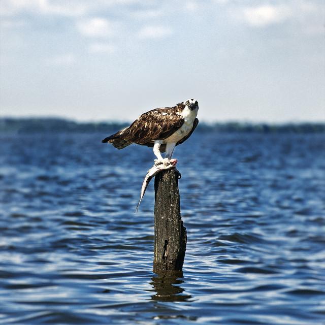"""Osprey with fish catch, Pandion haliaetus, North Carolina"" stock image"