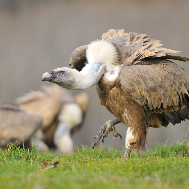 """""""Griffon vulture in the meadow of Leon."""" stock image"""