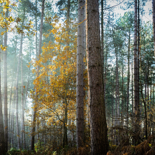 """Sherwood Pines Nottinghamshire,UK."" stock image"