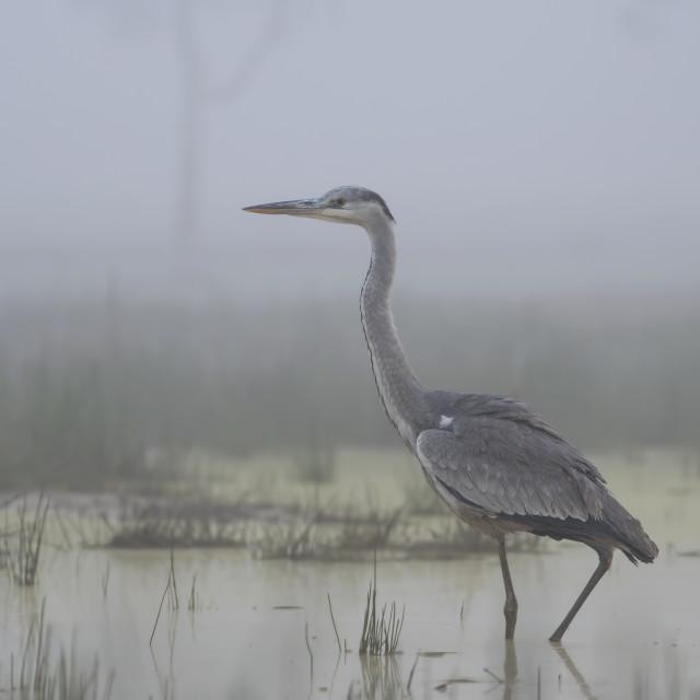 """Gray heron"" stock image"