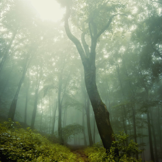 """Giant tree in green foggy forest"" stock image"