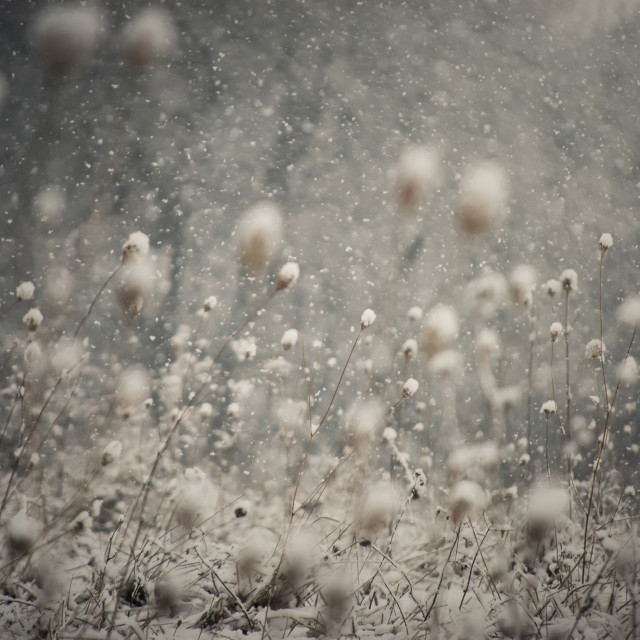 """Snow flakes falling in winter over frozen plants"" stock image"