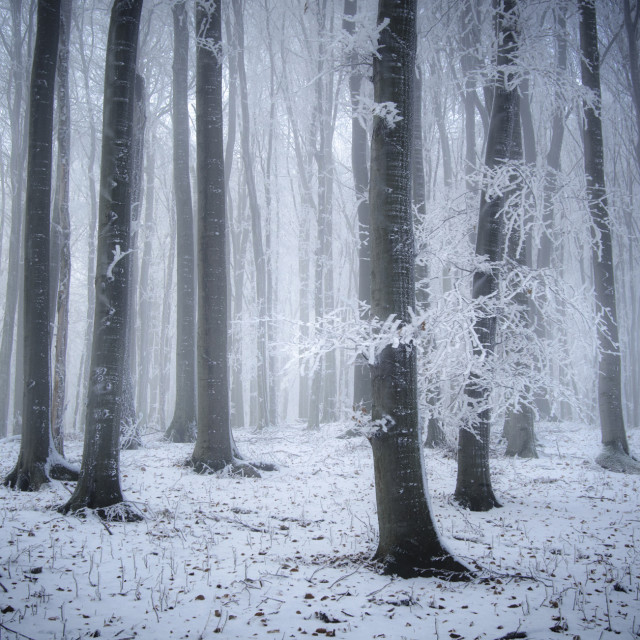 """Magic Chhristmas winter forest"" stock image"