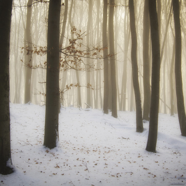 """Forest with snow on Christmas morning"" stock image"