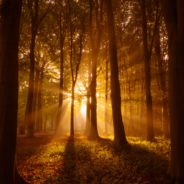 """""""Sunrays shinning through a misty forest"""" stock image"""