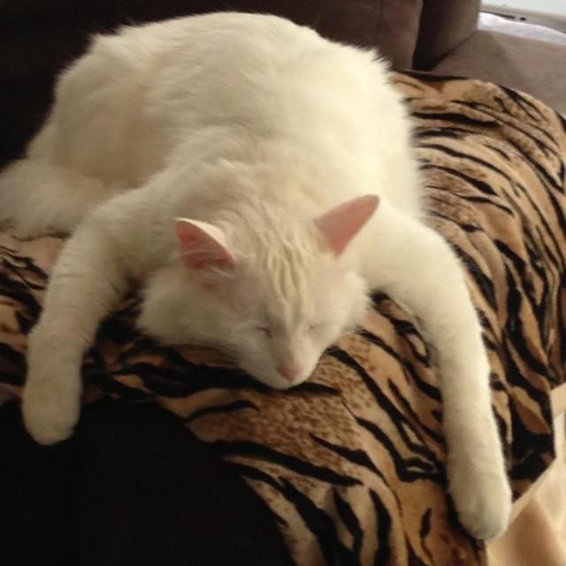 """White Turkish angora cat asleep on sofa arm"" stock image"