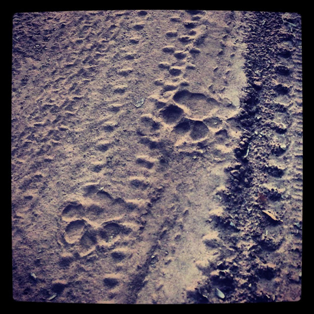 """Tiger pug marks, Ranthambore"" stock image"