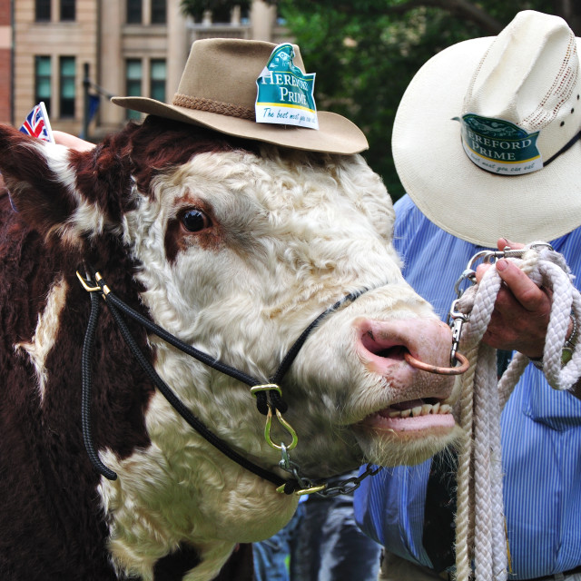 """Hereford Bull with Akubra Hat in Hyde Park"" stock image"