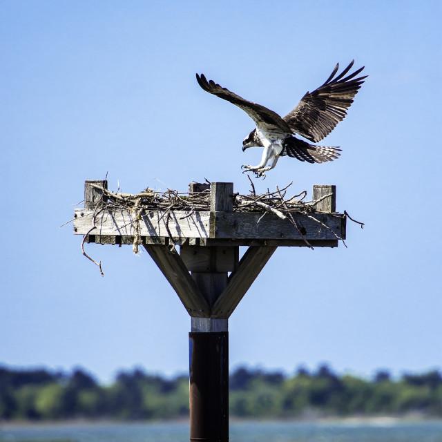 """""""Osprey landing in salt marsh nest, Delaware, USA"""" stock image"""