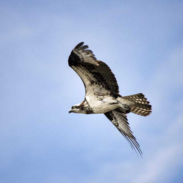 """""""Osprey lin flight, Delaware, USA"""" stock image"""