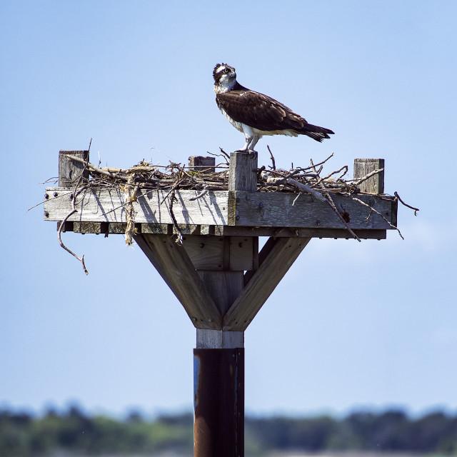 """""""Osprey in salt marsh nest, Delaware, USA"""" stock image"""