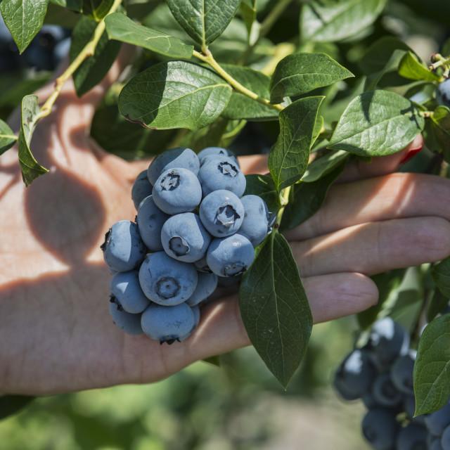 """Blueberry harvest, New Jersey, USA"" stock image"