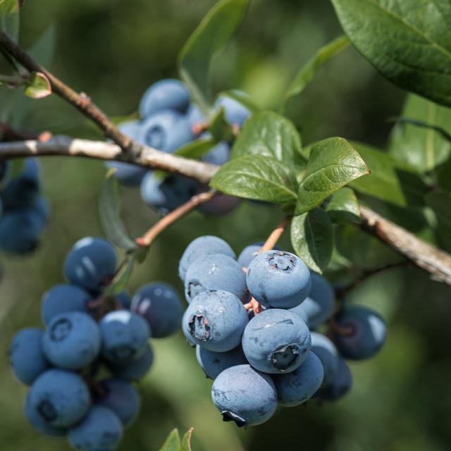 """Blueberry bush, New Jersey, USA"" stock image"