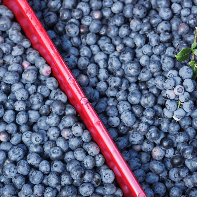 """Blueberry harvest, New Jersey, USA,"" stock image"