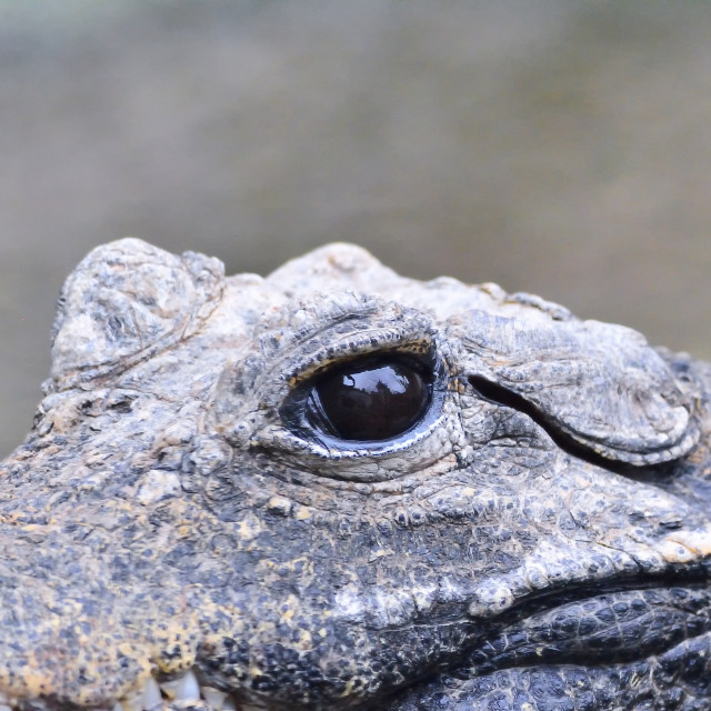"""Crocodile eye in close-up looking at camera"" stock image"