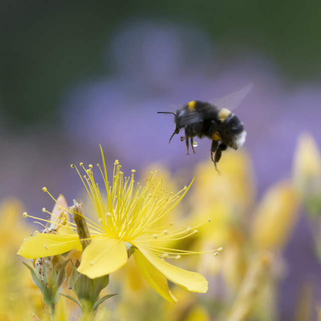 """Bumblebee Landing with Water Droplet"" stock image"