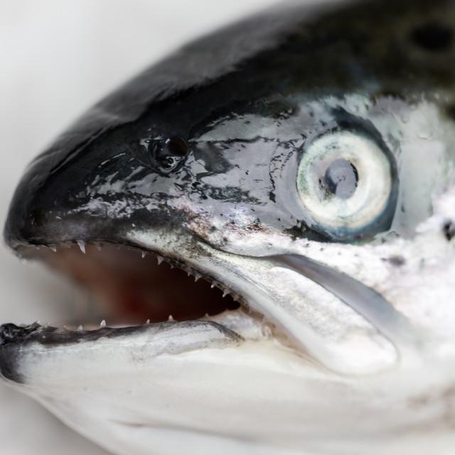 """Salmon fish close up macro head with focus on sharp teaths"" stock image"
