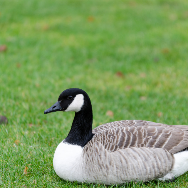 """""""one lonely canada goose lay on the graas"""" stock image"""