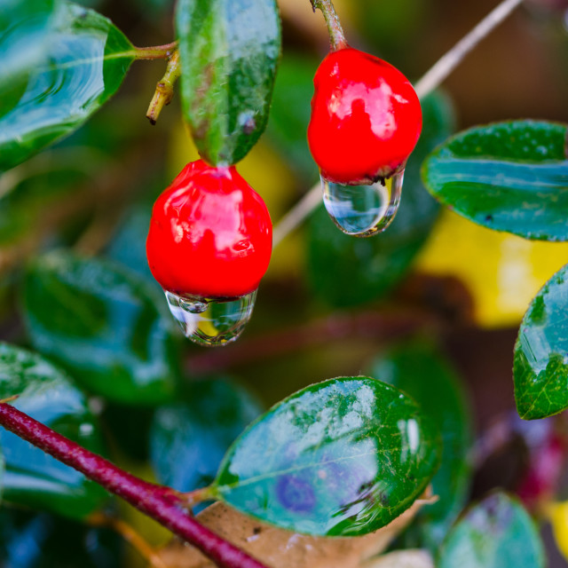 """""""beutiful red berry with waterdrop hanging"""" stock image"""