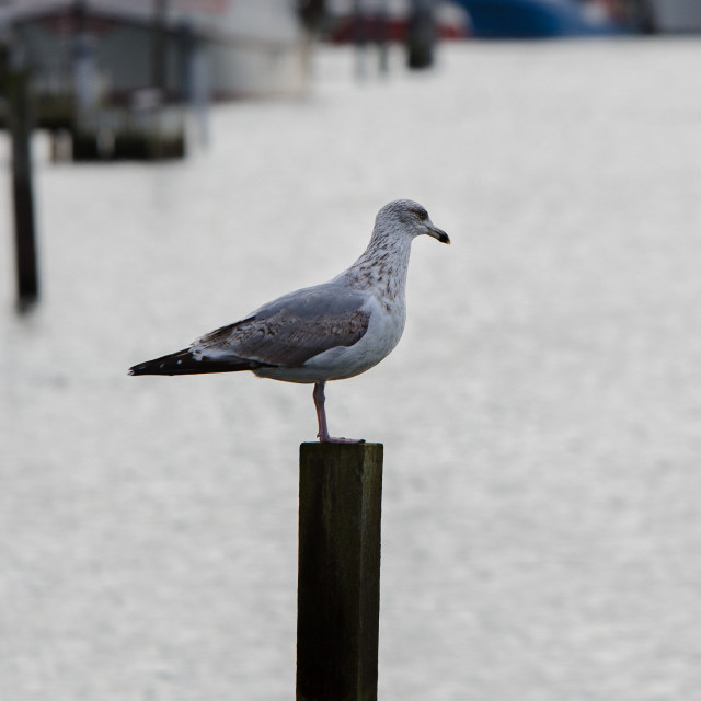 """""""one lonely seagull standing at pier"""" stock image"""