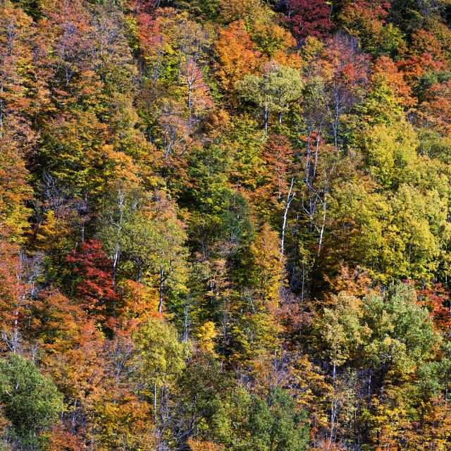 """Autumn foliage on a stand of forest trees."" stock image"