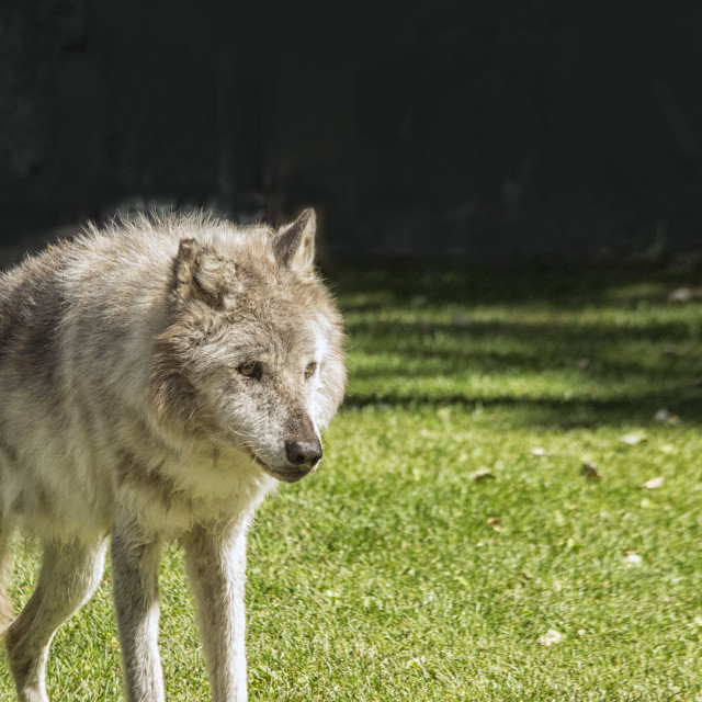 """Grey wolfe"" stock image"