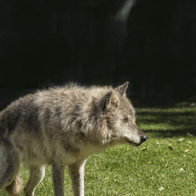 """""""Grey wolfe in close up"""" stock image"""