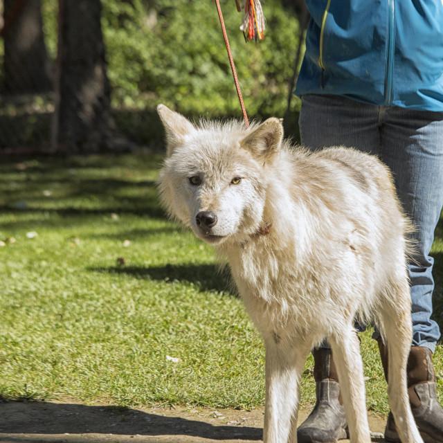 """Walking a wolfe"" stock image"