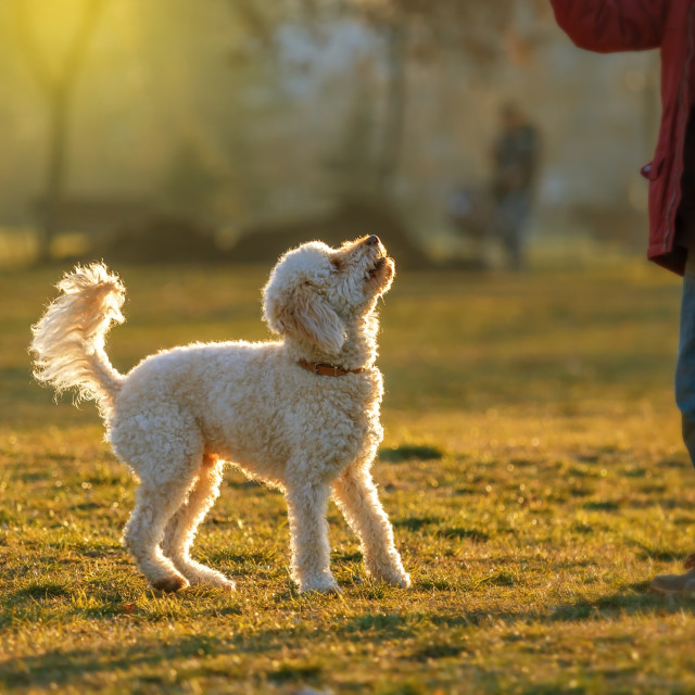 """white poodle lawn and little boy"" stock image"