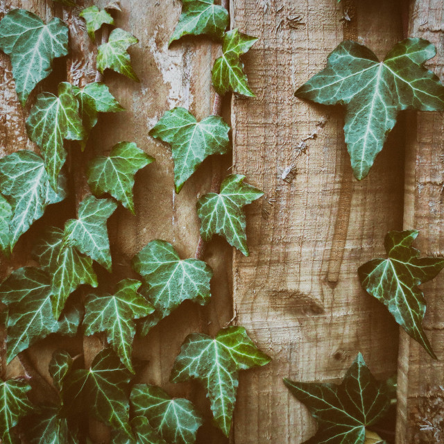 """Ivy on a Wooden Fence"" stock image"