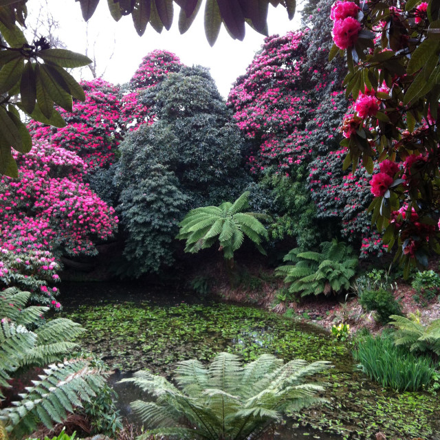 """""""Rhododendrons and Dickensonia Antartica tree ferns at Heligan Gardens Cornwall"""" stock image"""