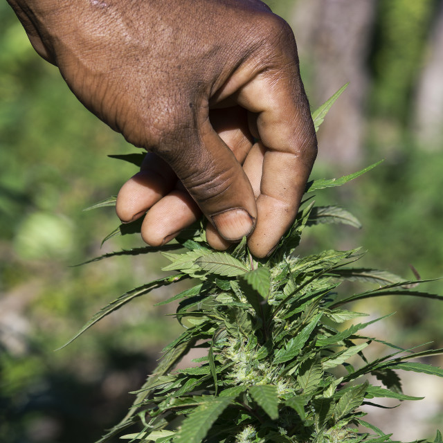 """Jamaican ganja farmer checks his marijuana plants , Jamaica"" stock image"