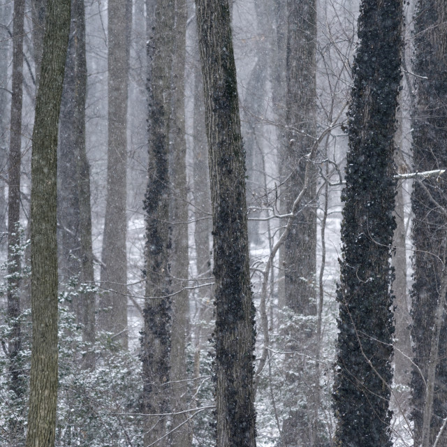 """Snow falls in a winter forest, New Jersey, USA"" stock image"