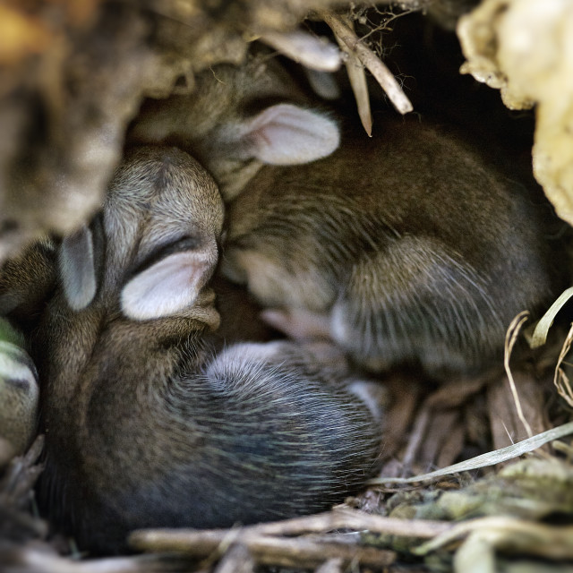 """Newborn rabbits cuddle in hole."" stock image"