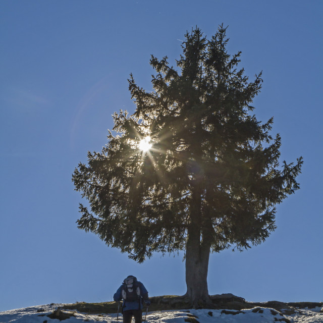 """""""Spruce in the backlight"""" stock image"""