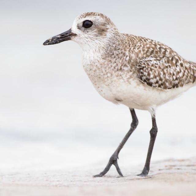 """Florida shorebird. Black- bellied Plover."" stock image"