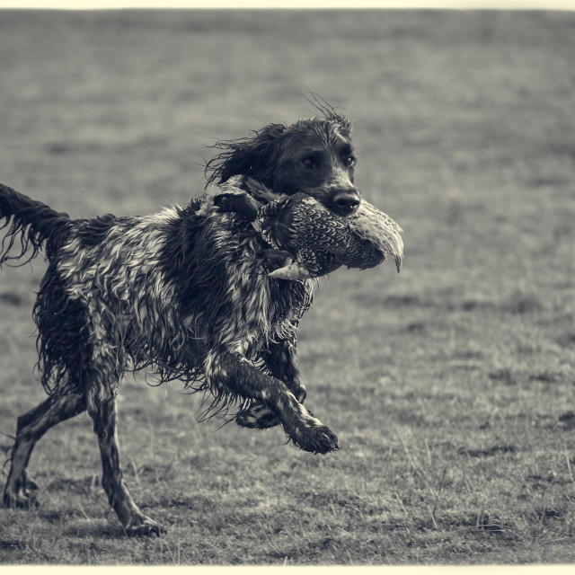 """""""Gun dog with pheasant in its mouth"""" stock image"""